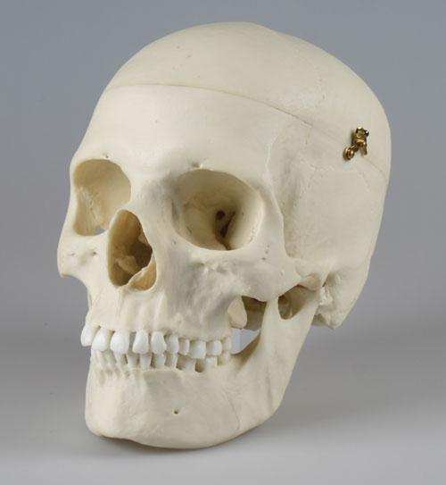knochenpraeparation.de | shop: human skull replicas, Skeleton